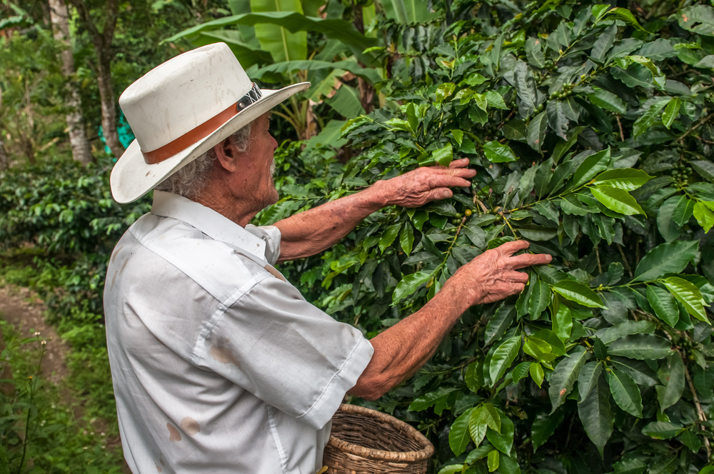 Coffee Harvesting 1